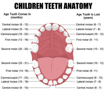 child-teeth-diagram